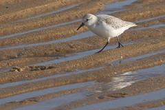 Balade entre les sillons (domiguichard) Tags: reflection reflet brittany bird sand beach bécasseau mer plage etel morbihan bretagne oiseau sable