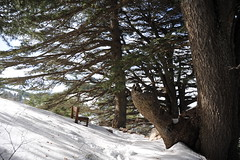 (Marwanhaddad) Tags: forest cedars landscape snow trees lebanon