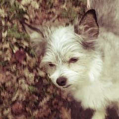 IMG_9056 (earthdog) Tags: 2018 dog pet animal liveanimal needstags needstitle canon canonpowershotsx720hs powershot sx720hs