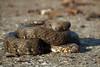 Natrix maura (thomas LUZZATO) Tags: reptile pau aquitaine france