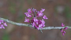 Red Bud (bamboosage) Tags: meyer optik gorlitz oreston 1850 m42