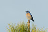 DSC_2799.jpg Western Bluebird, UCSC Great Meadow (ldjaffe) Tags: westernbluebird ucscgreatmeadow