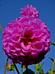 Wünsche allen ein schönes Wochenende!  I wish all of you a nice weekend! (fleckchen) Tags: dahlien dahlie dahlia himmel blumen blüten blooms garten sommer natur flower pflanzen zierpflanze korbblütler asteraceae georginen