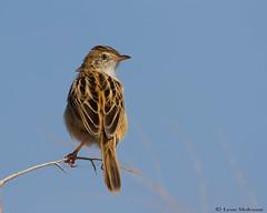 Rattling Cisticola (leendert3) Tags: select leonmolenaar southafrica krugernationalpark wildlife nature birds rattlingcisticola coth5 ngc