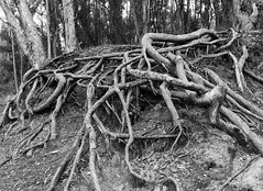 Roots II _ bw (Joe Josephs: 3,166,284 views - thank you) Tags: california californiacoast californialandscape pacificcoasthighway pacificocean shoreline travel travelphotography westcoast naturalworld nature naturephotography peaceful quiet tranquil forest trees rootsrootsystem montaã±adeorostatepark losososcalifornia bw monochrome blackandwhite blackandwhitephotography montañadeorostatepark