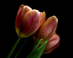 Taken Aback 1123 (Tjerger) Tags: nature beautiful beauty black blackbackground bloom blooming blooms closeup fall flora floral flower flowers green macro pink plant portrait three trio tulip tulips wisconsin yellow taken aback natural