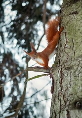 Squirrel (vasyl.rohan) Tags: animals squirrel park nature winter photography photographer lviv