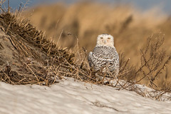 Snowy in the sun (jim sonia) Tags: birds snowyowl bird hamptonnh