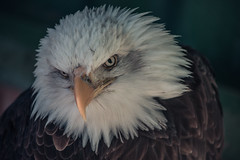 Bald Eagle (dusk_rider) Tags: bald eagle nikon d7200 portrait raptor bird prey beautiful gorgeous nature greatphotographers dusk rider feather