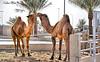 """Couple ("""" Don Quixote """") Tags: مدينةالانعامبالقصيم animal camel tree"""