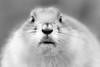 The nose is for breathing, the mouth is for eating. (Dikke Biggie.) Tags: prairiedog prairiehond dog hond closeup detail macro dof depthoffield scherptediepte nose neus mouth mond bek eye eyes oog ogen zoo dierenpark rotterdam blijdorp blackandwhite bw black white zwartwit zw zwart wit monochrome monochroom canon canoneos450d 100mm f28 dgawc canonnl bokeh animal dier 52in2018 51animal