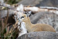 Klipspringer (mayekarulhas) Tags: krugerpark mpumalanga southafrica za klipspringer animals antilope africa safari canon wildlife wild