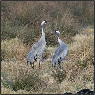 Common Crane (image 1 of 2)