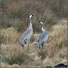 Common Crane (image 1 of 2) (Full Moon Images) Tags: woodwalton fen greatfen bcn wildlife trust cambridgeshire nnr national nature reserve bird common crane