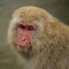 Innocent (rrfaris1957) Tags: snow monkey macaque yudanaka littlestories picswithsoul