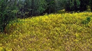 Yellow Sunshine on a California Hillside