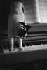 Musical Paws (avaughan585) Tags: cats paws piano music blackandwhite bw film noir noiretblanc