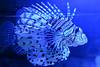 Lion Fish (Bri_J) Tags: blueplanet aquarium ellesmereport cheshire uk nikon d7200 lionfish fish pterois
