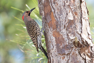 Northern Flicker (Colaptes auratus), Miami-Dade County, Florida