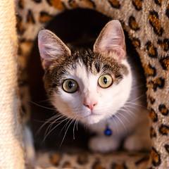 javacatscafe18Feb20180128.jpg (fredstrobel) Tags: javacafecats javacatscafe atlanta places animals ga pets cats usa georgia unitedstates us