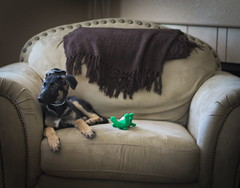 Kenzie Couch (grotephotography) Tags: dog dogs germanshepard puppy shepard