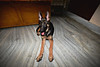Shontababa 4 (Benaami) Tags: gsd gsdpuppy german d610 dog nikond610 shepherd alsatian pup puppy pet nikon nikkor 50mm 50mmf18 50mm18