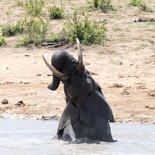 African giant enjoying a bath!