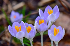 February Crocus (thatSandygirl) Tags: spring earlyspring february flowers yellow crocus petals wet waterdrops droplets water raindrops closeup outdoor floral blossom bloom nature naturalized outside purple purpleandorange purpleandyellow orange lavender pastel