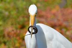 What do I do now? (NaturalLight) Tags: greategret egret feeding bolsachicaecologicalreserve bolsachica california