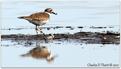 With Prize (ctofcsco) Tags: 7d canon colorado coloradosprings explore northamerica usa water bird sand beach killdeer canoneos7d ef400mmf28liiusm20x f11 800mm 11250s iso400 esplora explored 7dclassic 7dmarki 7dmark1 eos7d telephoto supertelephoto extender teleconverter 2x 20x ef2xii ef2x wildlife nature renown pretty photo pic digital