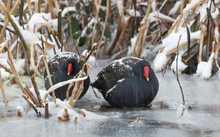 Moorhens in the snow
