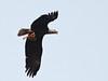 Bald Eagle at 641 AM with goldfish 20180301 (Kenneth Cole Schneider) Tags: florida miramar westmiramarwca
