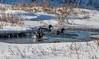 7K8A5337 (rpealit) Tags: scenery wildife nature east hatchery alumni field hackettstown mallard duck landing bird