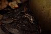 Millipede (Hachimaki123) Tags: 見稲荷大社 fushimiinaritaisha 日本 japan 京都 kyoto 虫 動物 animal insect insecto myriapoda milpies millipede