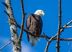 Kokslilah River Eagle (RebelRob) Tags: britishcolumbia vancouverisland cowichanvalley eagles baldeagle haliaeetusleucocephalus