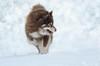 snow bokeh (sure2talk) Tags: snowbokeh tasku finnishlapphund snow newforest action motion run running nikond7000 nikkor70300mmf4556afsifedvr