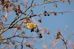 Siskin (Carduelis spinus) (jhureley1977) Tags: greenfinch carduelischloris birds birding birdsofbritain britishbirds ashjhureley avibase naturesvoice bbcspringwatch rspbbirders rspb ashutoshjhureley