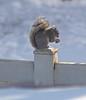 P1095084 (Paul Henegan) Tags: 67cropvertical carlzeissjena18028mc f28 fencepost highlights selectivefocus shadows snow squirrel winter yard