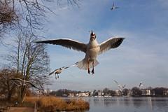 Raubtierfütterung (Lilongwe2007) Tags: hamburg deutschland alster ausenalster wasser wasservögel möwen lachmöwen vögel tiere fütterung flug natur