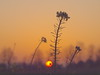 SUNRISE BY A WINTERRAPEFIELD 2018 (hans 1960) Tags: cold frost silhouette rps rape feld field nature natur farben colour januar winter kalt