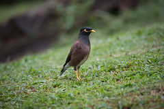 Common Mynah (kamaruld) Tags: myna mynah green tree bird natural habitat nature birding nikon nikkor 200500mm kl kualalumpur lightroomtutorial lightroom nikkorafs200500mmf56eedvr