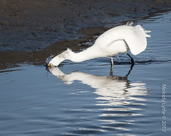 Snowy Egret (karenmelody) Tags: animal animals ardeidae bird birds california egret egrets egrettathula pelecaniformes sandiego snowyegret usa vertebrate vertebrates
