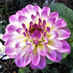 San Francisco, CA, Noe Valley, Dahlia Macro in My Son's Backyard (Mary Warren 9.9+ Million Views) Tags: sanfranciscoca noevalley nature pink flora plant bloom blossom flower macro dahlia