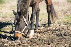 broutage en règle (Antares 117) Tags: horse chevaux cheval équitation nature noiretblanc animaux animauxdecompagnie animal aixenprovence natural portrait photoartistique