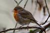 125.jpg (Kico Lopez) Tags: miño lugo aves feeder galicia birds rio spain erithacusrubecula petirrojo