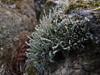 Cladonia coniocraea (Philip_Goddard) Tags: cladoniaconiocraea cladonia lichens foliose fruticose terricolous nature naturalhistory southwestengland england unitedkingdom britain british britishisles greatbritain uk europe