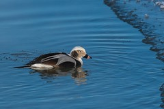 Harlede Kakawi / Long-tailed Duck (ALLAN .JR) Tags: harledekakawi longtailedduck canard nature wildlife récréoparc stecatherine hiver winter eau water nikon