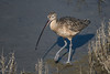 Long-billed Curlew (nebulous 1) Tags: bolsachicawetlands ca huntingtonbeach bird fauna longbilledculew nature