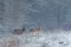 Il neige ! (Eric Penet) Tags: animal avesnois france faune forêt mammifère mormal mâle mammal wildlife wild locquignol cervidé cerf cerfelaphe cerfélaphe cervus deer nord nature février biche doe stag élaphe elaphus neige winter snow