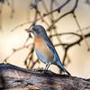 Western Bluebird (Ed Sivon) Tags: america canon nature lasvegas wildlife wild western southwest desert clarkcounty clark vegas bird nevada park blue